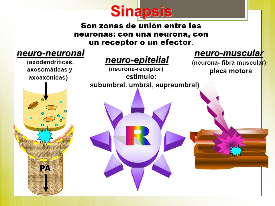 Sinapsis Son zonas de unión entre las neuronas: con una neurona, con un receptor o un efector. neuro-muscular (neurona- fibra muscular) placa motorane