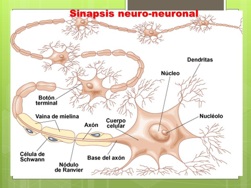 Sinapsis neuro-neuronal