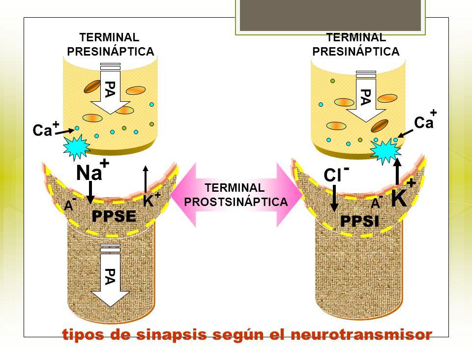 PPSI PPSE Na Ca K + + Cl + Ca + - TERMINAL PRESINÁPTICA TERMINAL PRESINÁPTICA PA TERMINAL PROSTSINÁPTICA PA K + tipos de sinapsis según el neurotransm