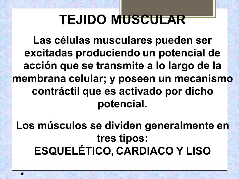 TEJIDO MUSCULAR Las células musculares pueden ser excitadas produciendo un potencial de acción que se transmite a lo largo de la membrana celular; y p
