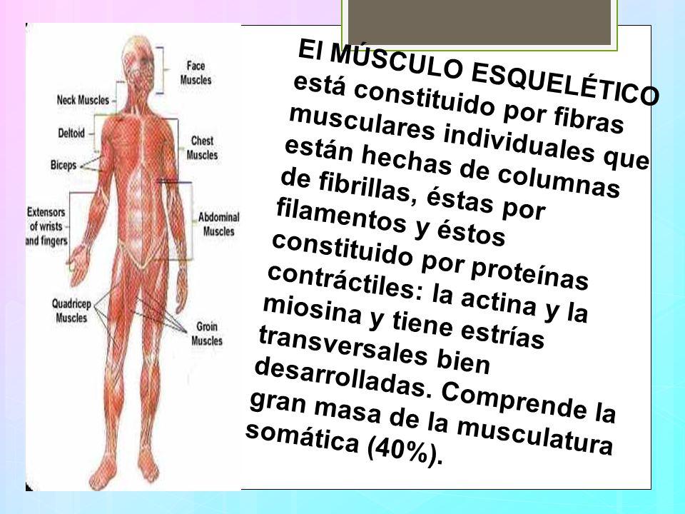 El MÚSCULO ESQUELÉTICO está constituido por fibras musculares individuales que están hechas de columnas de fibrillas, éstas por filamentos y éstos con