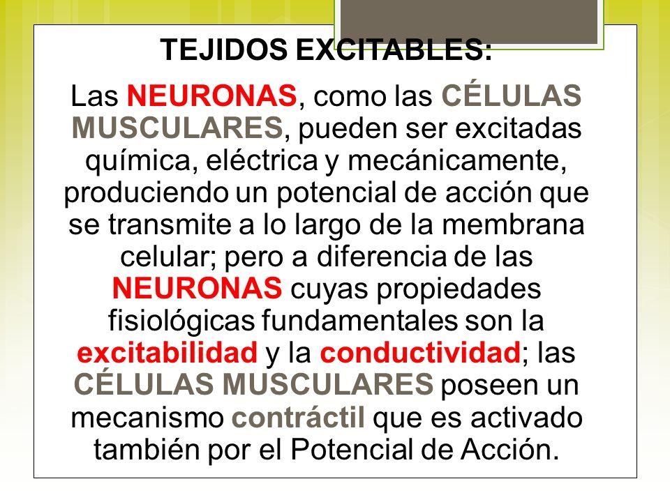 TEJIDOS EXCITABLES: Las NEURONAS, como las CÉLULAS MUSCULARES, pueden ser excitadas química, eléctrica y mecánicamente, produciendo un potencial de ac