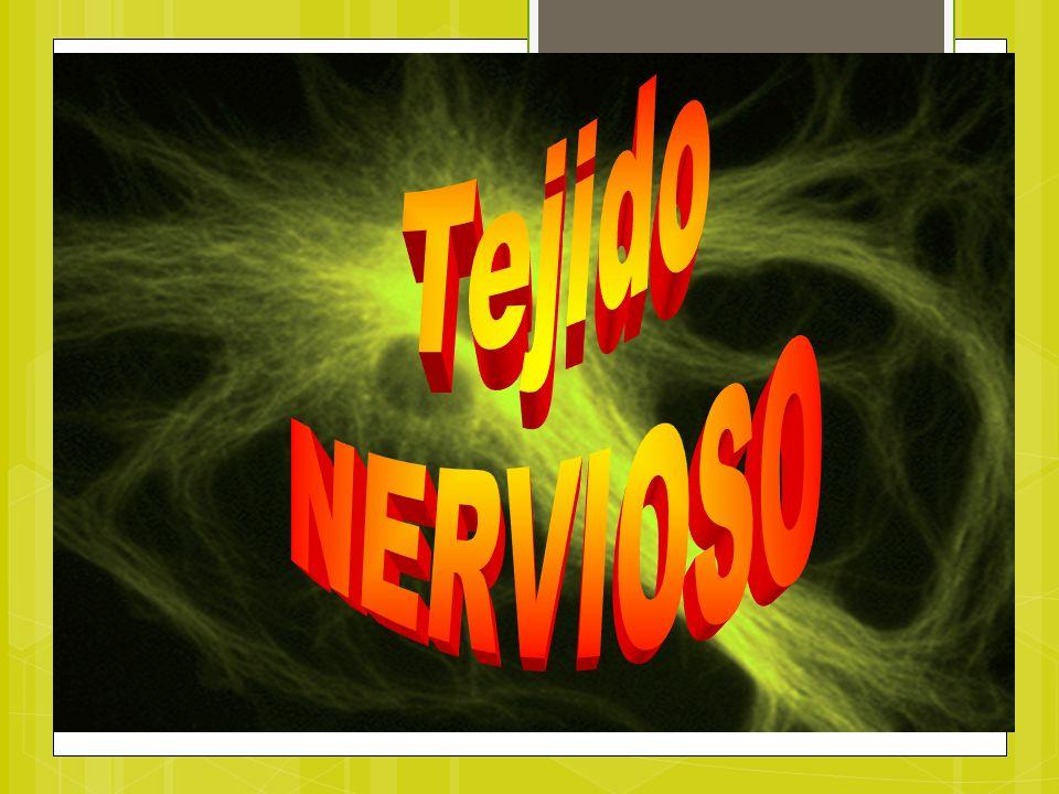 CARACTERÍSTICAS GENERALES DEL TEJIDO NERVIOSO Variedad Uno de los 4 tejidos básicos (epitelial, conectivo, nervioso y muscular).