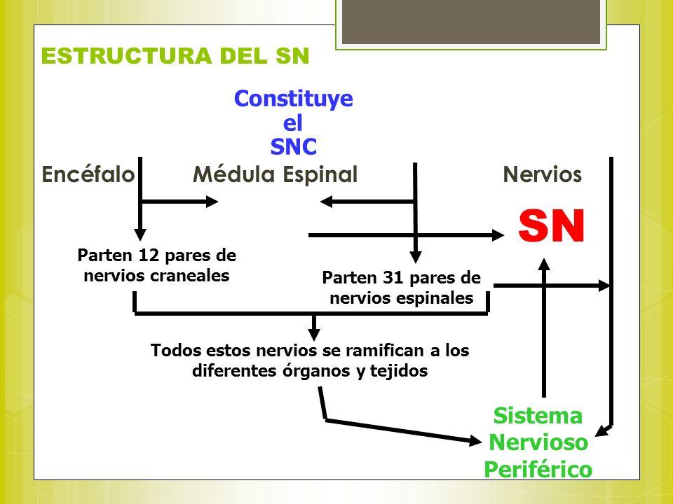 ESTRUCTURA DEL SN Encéfalo Médula Espinal Nervios Constituye el SNC Parten 12 pares de nervios craneales Parten 31 pares de nervios espinales Todos es