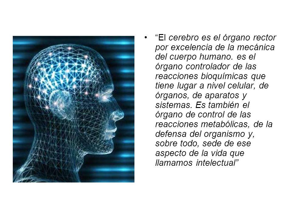 El cerebro es el órgano rector por excelencia de la mecánica del cuerpo humano. es el órgano controlador de las reacciones bioquímicas que tiene lugar