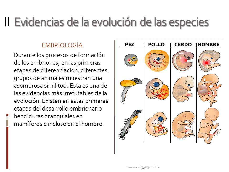 Evidencias de la evolución de las especies EMBRIOLOGÍA Durante los procesos de formación de los embriones, en las primeras etapas de diferenciación, d