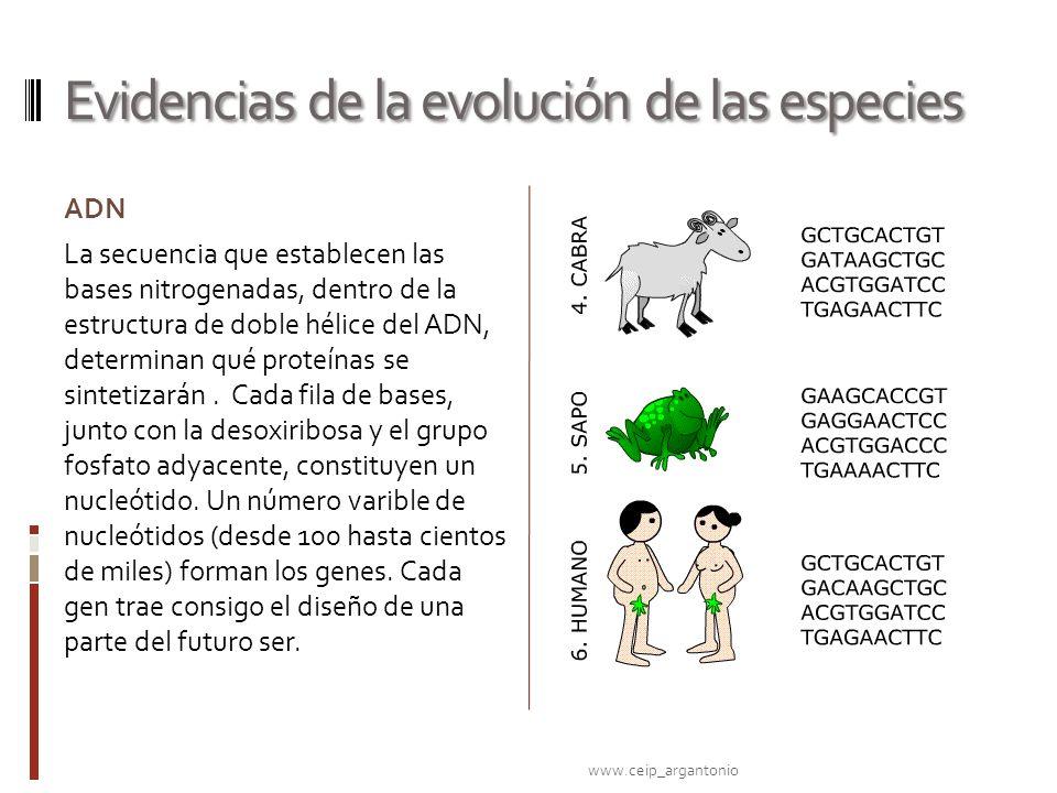 Evidencias de la evolución de las especies ADN La secuencia que establecen las bases nitrogenadas, dentro de la estructura de doble hélice del ADN, de