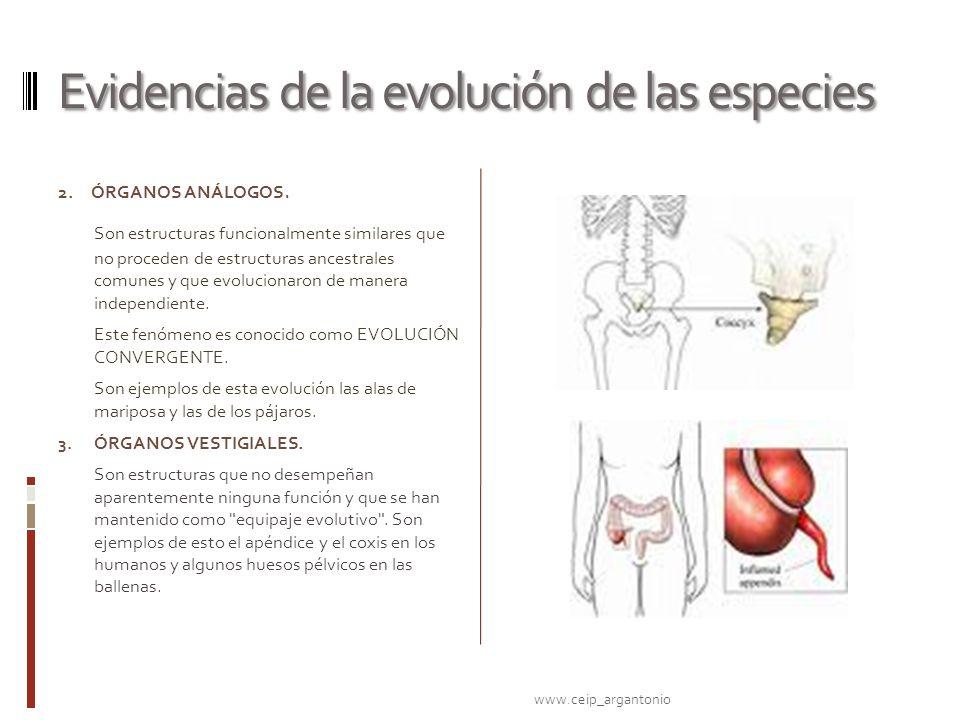 Evidencias de la evolución de las especies 2. ÓRGANOS ANÁLOGOS. Son estructuras funcionalmente similares que no proceden de estructuras ancestrales co