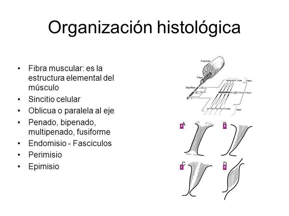 Organización histológica Fibra muscular: es la estructura elemental del músculo Sincitio celular Oblicua o paralela al eje Penado, bipenado, multipena