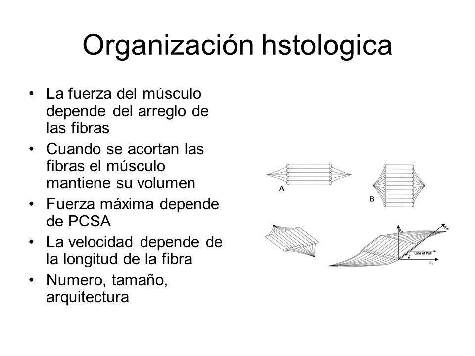 Organización hstologica La fuerza del músculo depende del arreglo de las fibras Cuando se acortan las fibras el músculo mantiene su volumen Fuerza máx