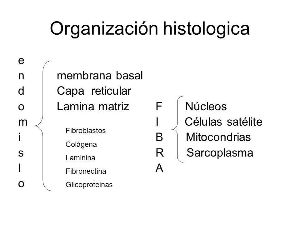 Organización histologica e n membrana basal d Capa reticular o Lamina matriz m i s I o F Núcleos I Células satélite B Mitocondrias R Sarcoplasma A Fib