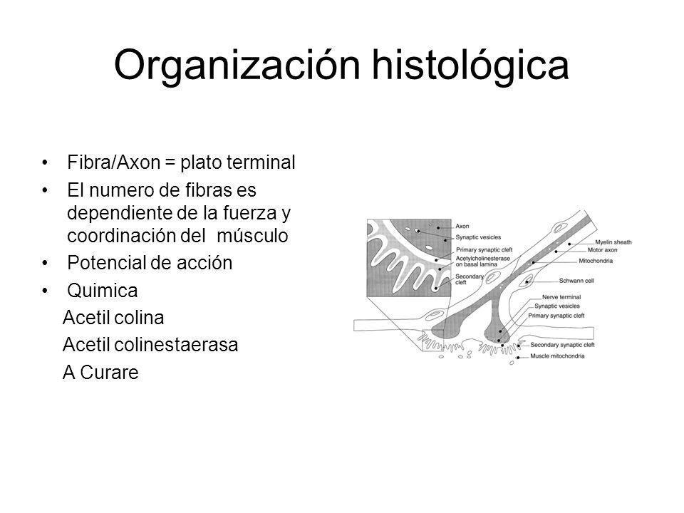 Organización histológica Fibra/Axon = plato terminal El numero de fibras es dependiente de la fuerza y coordinación del músculo Potencial de acción Qu