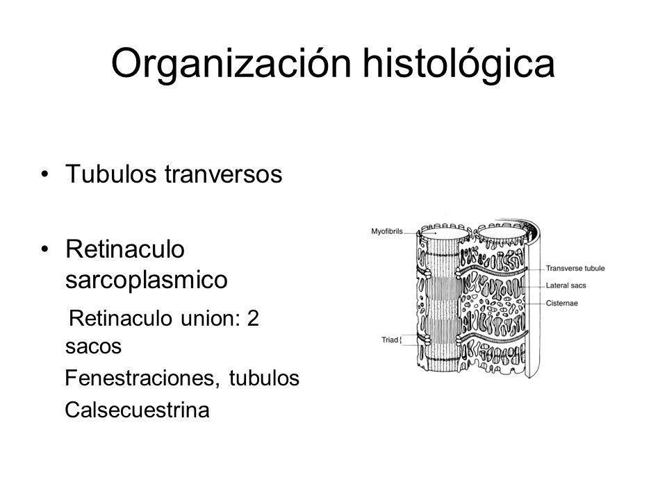 Organización histológica Tubulos tranversos Retinaculo sarcoplasmico Retinaculo union: 2 sacos Fenestraciones, tubulos Calsecuestrina