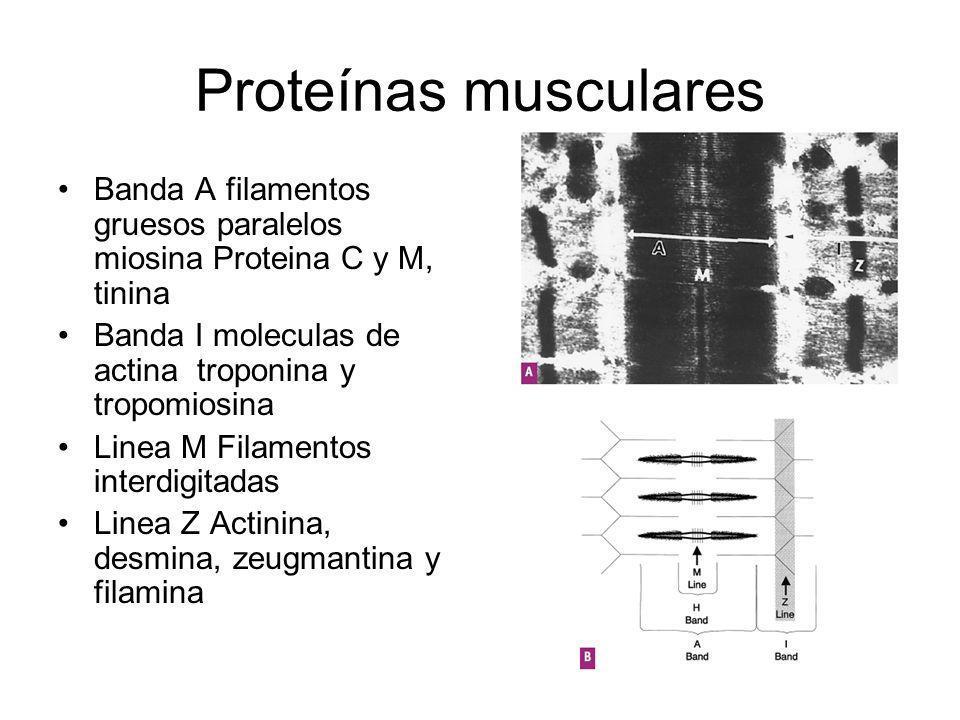 Proteínas musculares Banda A filamentos gruesos paralelos miosina Proteina C y M, tinina Banda I moleculas de actina troponina y tropomiosina Linea M