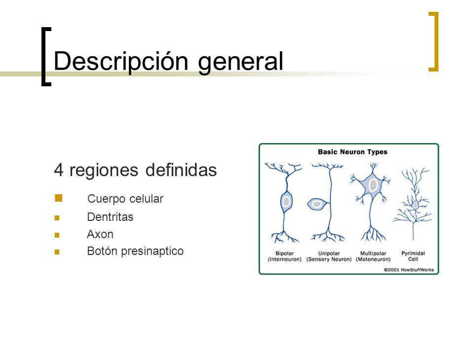 Descripción general 4 regiones definidas Cuerpo celular Dentritas Axon Botón presinaptico