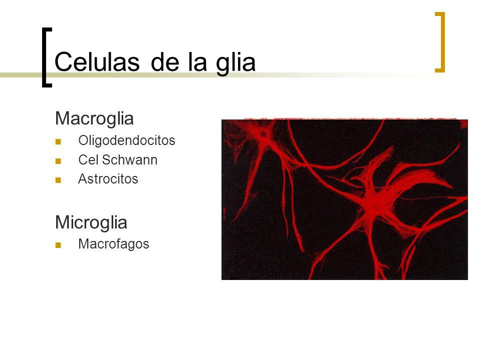 Celulas de la glia Macroglia Oligodendocitos Cel Schwann Astrocitos Microglia Macrofagos