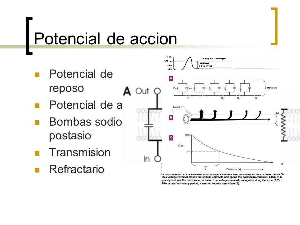 Potencial de accion Potencial de reposo Potencial de accion Bombas sodio y postasio Transmision Refractario