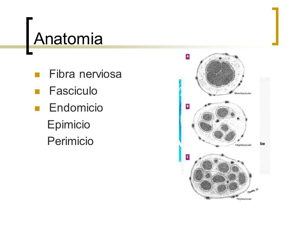 Anatomia Fibra nerviosa Fasciculo Endomicio Epimicio Perimicio