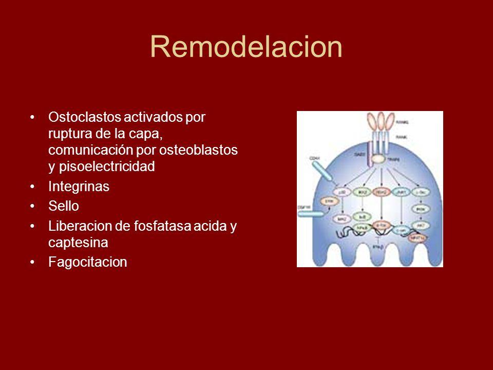 Remodelacion Ostoclastos activados por ruptura de la capa, comunicación por osteoblastos y pisoelectricidad Integrinas Sello Liberacion de fosfatasa a