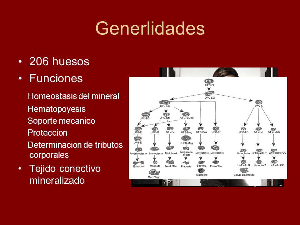 Generlidades 206 huesos Funciones Homeostasis del mineral Hematopoyesis Soporte mecanico Proteccion Determinacion de tributos corporales Tejido conect