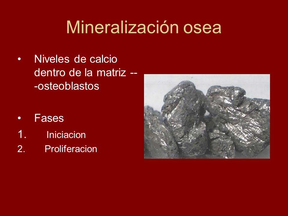Mineralización osea Niveles de calcio dentro de la matriz -- -osteoblastos Fases 1. Iniciacion 2. Proliferacion