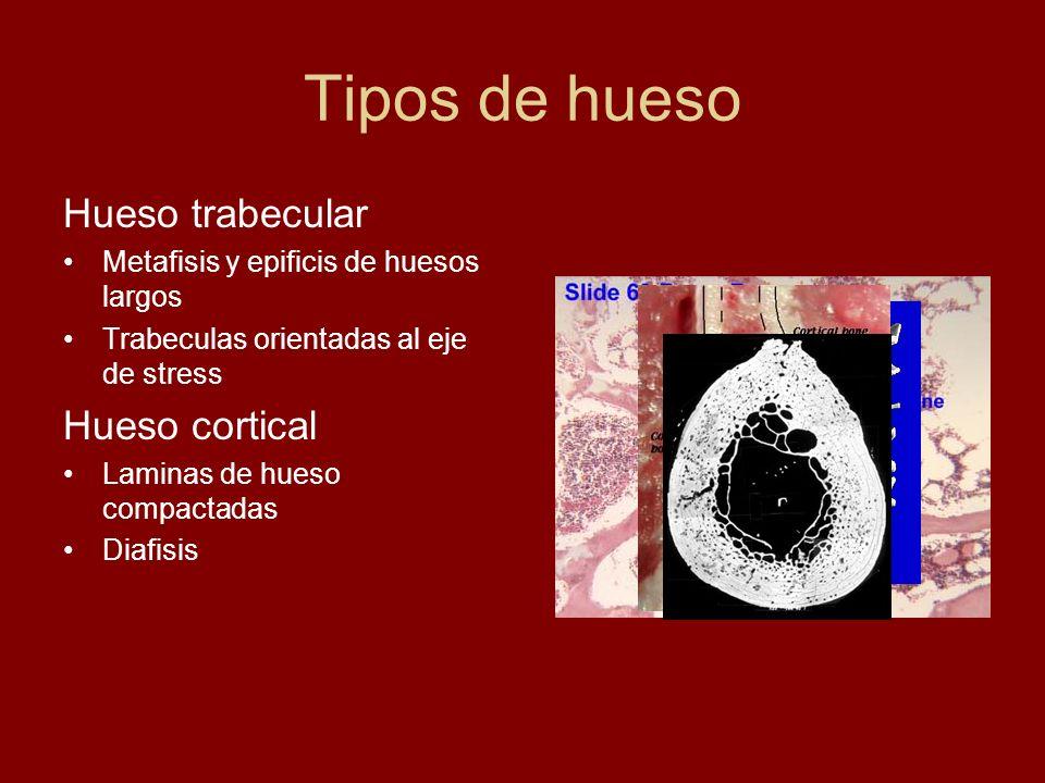 Tipos de hueso Hueso trabecular Metafisis y epificis de huesos largos Trabeculas orientadas al eje de stress Hueso cortical Laminas de hueso compactad