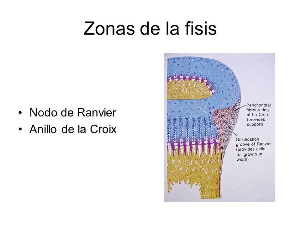 Zonas de la fisis Nodo de Ranvier Anillo de la Croix
