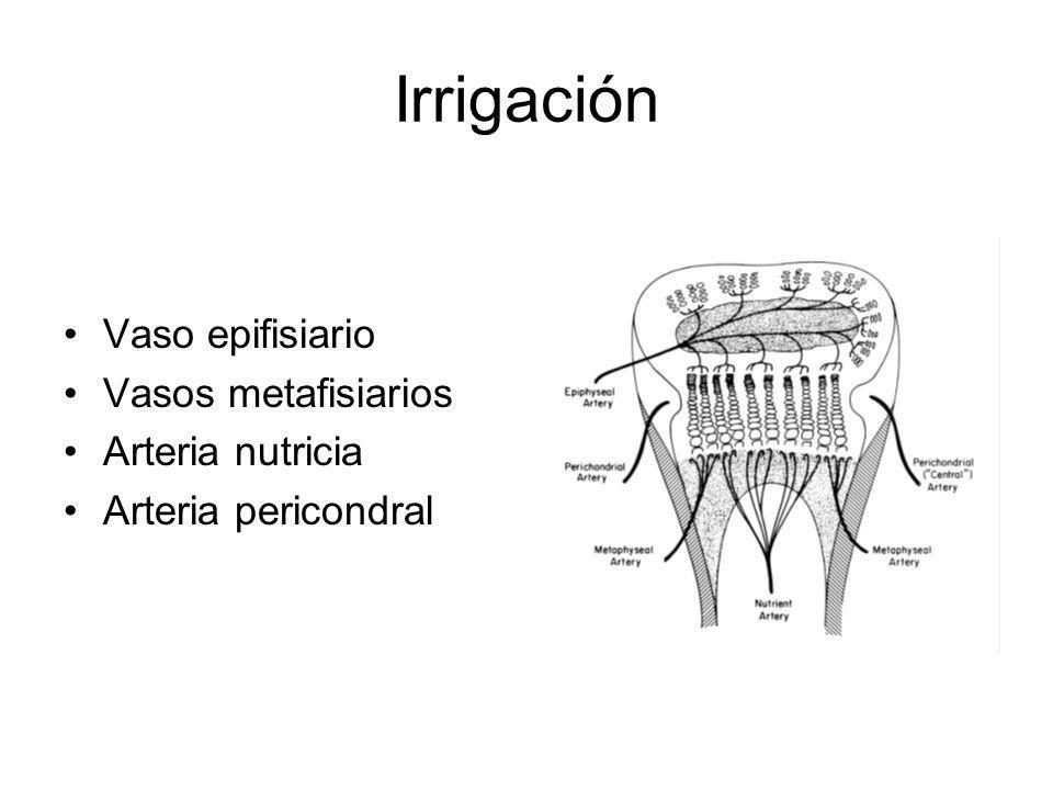 Zonas de la fisis Zona de reserva Adjunta al centro secundario de crecimiento Condrocitos embebidos en matriz y sin orden Funciones - Barrera entre el centro de osificación secundario - Almacén de glicogeno, proteínas y lípidos - Producción de células Baja tensión de oxigeno