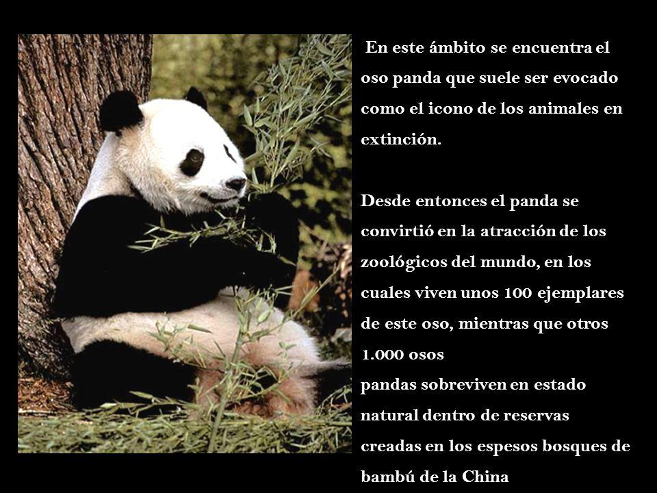 En este ámbito se encuentra el oso panda que suele ser evocado como el icono de los animales en extinción. Desde entonces el panda se convirtió en la