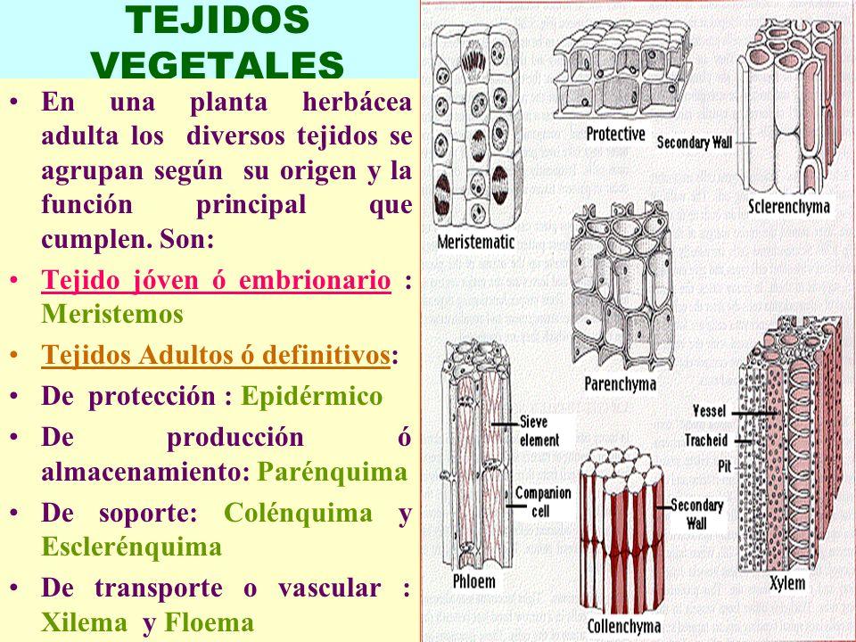 LUIS ROSSI1 TEJIDOS VEGETALES En una planta herbácea adulta los diversos tejidos se agrupan según su origen y la función principal que cumplen. Son: T