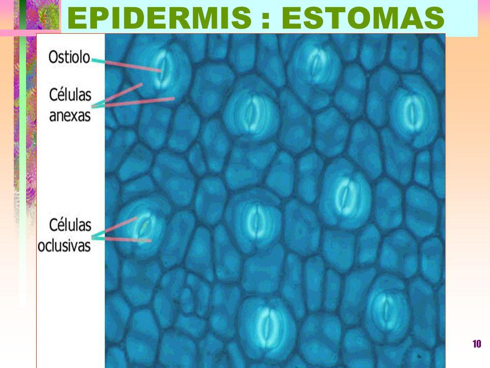 LUIS ROSSI10 EPIDERMIS : ESTOMAS