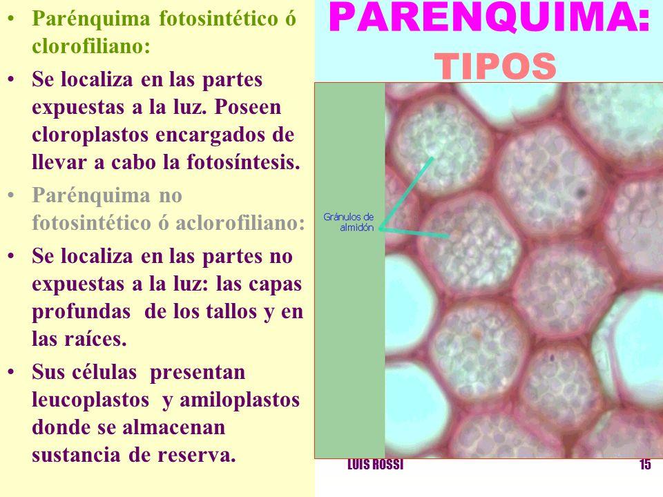 LUIS ROSSI15 Parénquima fotosintético ó clorofiliano: Se localiza en las partes expuestas a la luz. Poseen cloroplastos encargados de llevar a cabo la