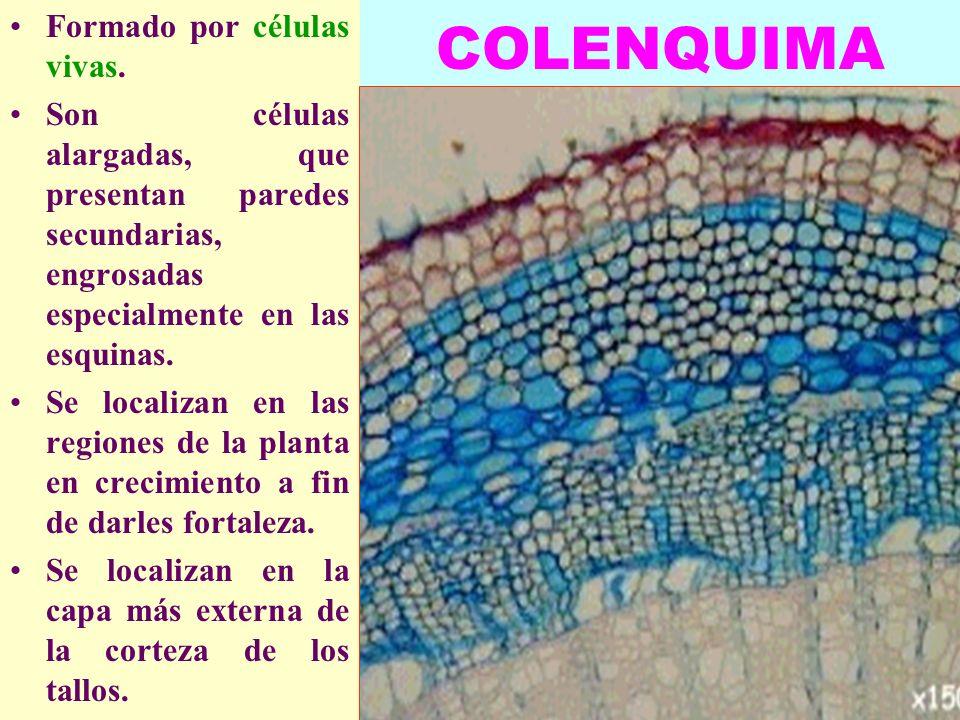 LUIS ROSSI16 COLENQUIMA Formado por células vivas. Son células alargadas, que presentan paredes secundarias, engrosadas especialmente en las esquinas.