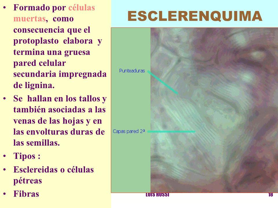 LUIS ROSSI18 ESCLERENQUIMA Formado por células muertas, como consecuencia que el protoplasto elabora y termina una gruesa pared celular secundaria imp