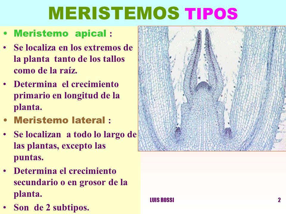 LUIS ROSSI2 MERISTEMOS TIPOS Meristemo apical : Se localiza en los extremos de la planta tanto de los tallos como de la raíz. Determina el crecimiento