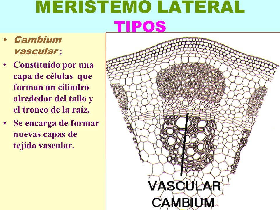 LUIS ROSSI3 MERISTEMO LATERAL TIPOS Cambium vascular : Constituído por una capa de células que forman un cilindro alrededor del tallo y el tronco de l