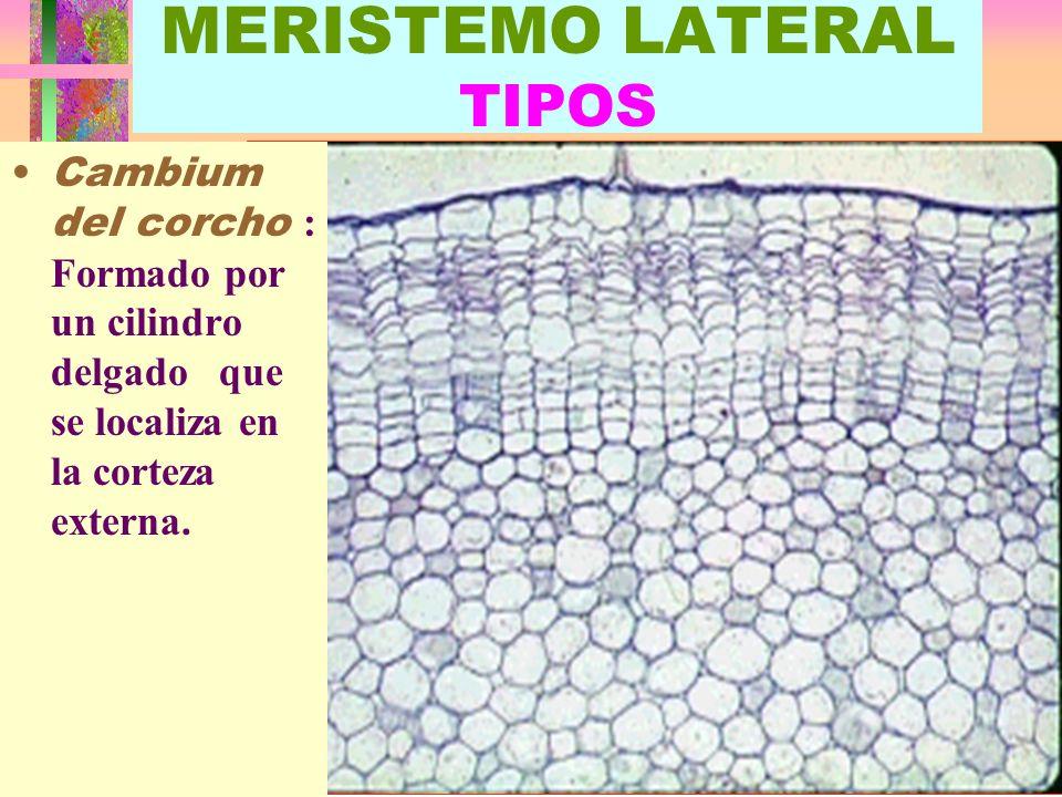 LUIS ROSSI4 MERISTEMO LATERAL TIPOS Cambium del corcho : Formado por un cilindro delgado que se localiza en la corteza externa.