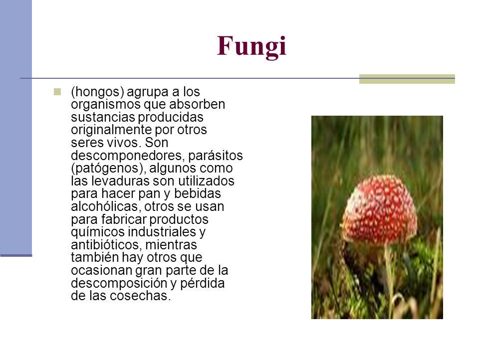 Fungi (hongos) agrupa a los organismos que absorben sustancias producidas originalmente por otros seres vivos. Son descomponedores, parásitos (patógen