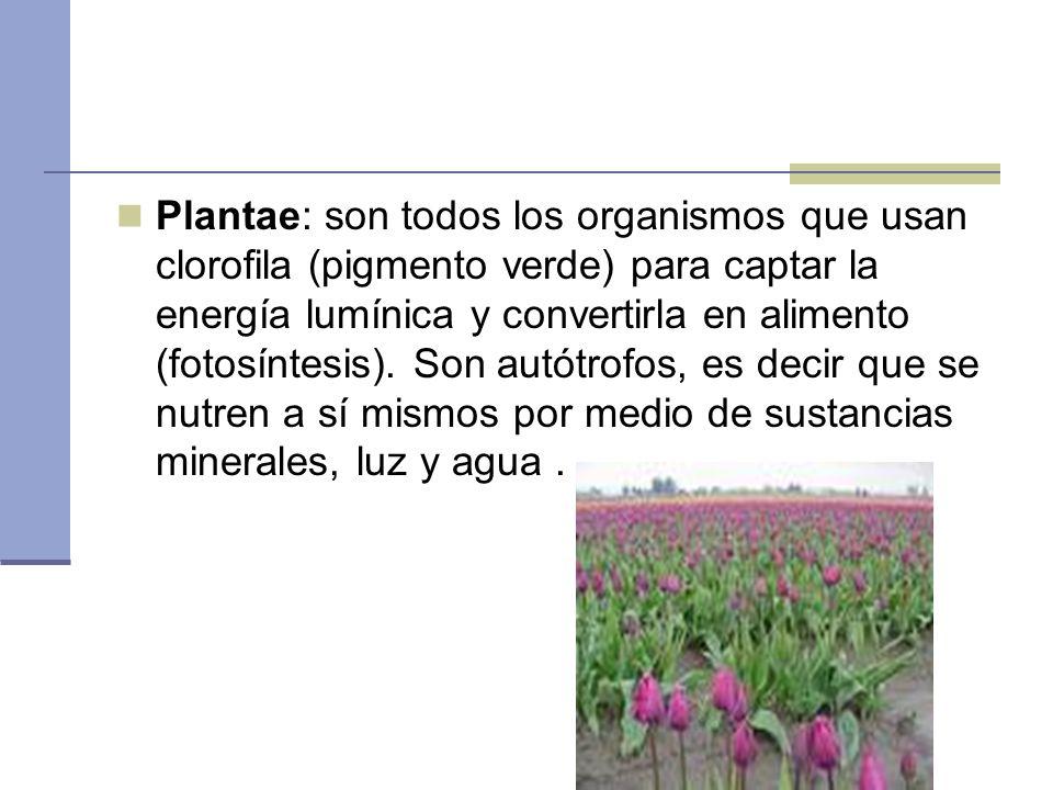 Plantae: son todos los organismos que usan clorofila (pigmento verde) para captar la energía lumínica y convertirla en alimento (fotosíntesis). Son au