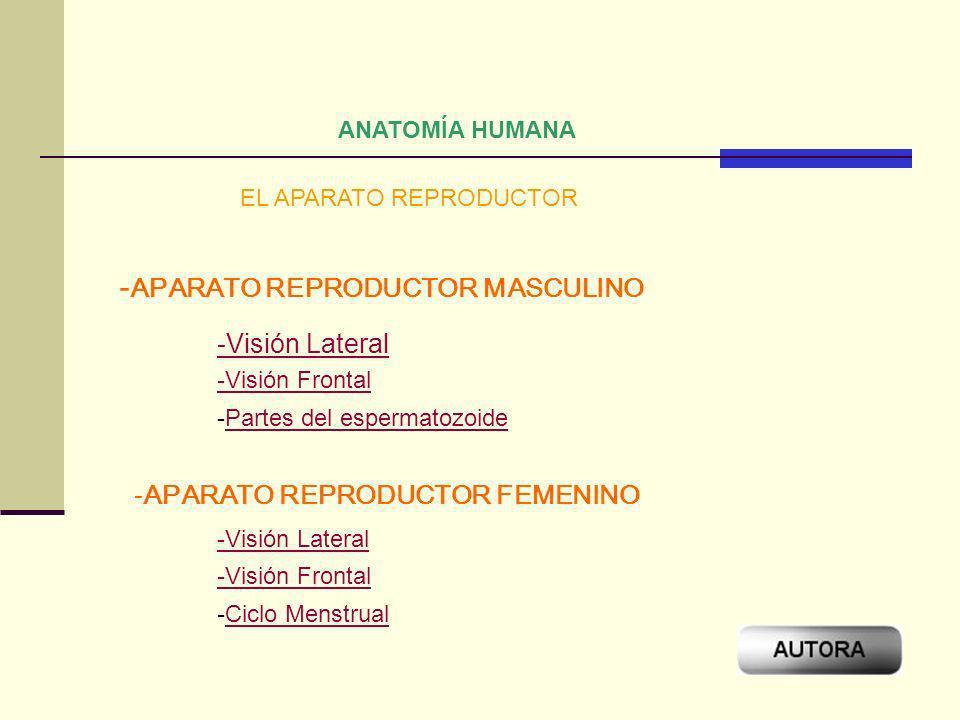 ANATOMÍA HUMANA EL APARATO REPRODUCTOR - APARATO REPRODUCTOR MASCULINO -APARATO REPRODUCTOR FEMENINO -Visión Lateral -Visión Frontal -Visión Lateral -
