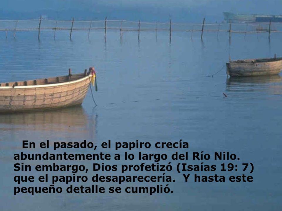 En el pasado, el papiro crecía abundantemente a lo largo del Río Nilo. Sin embargo, Dios profetizó (Isaías 19: 7) que el papiro desaparecería. Y hasta