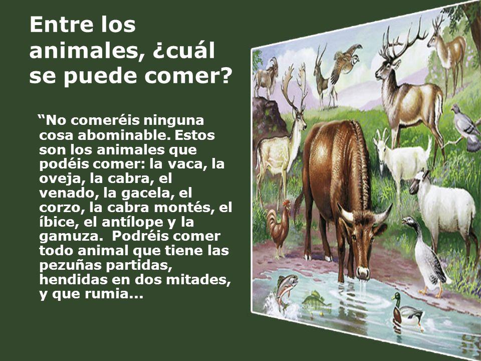 Entre los animales, ¿cuál se puede comer? No comeréis ninguna cosa abominable. Estos son los animales que podéis comer: la vaca, la oveja, la cabra, e