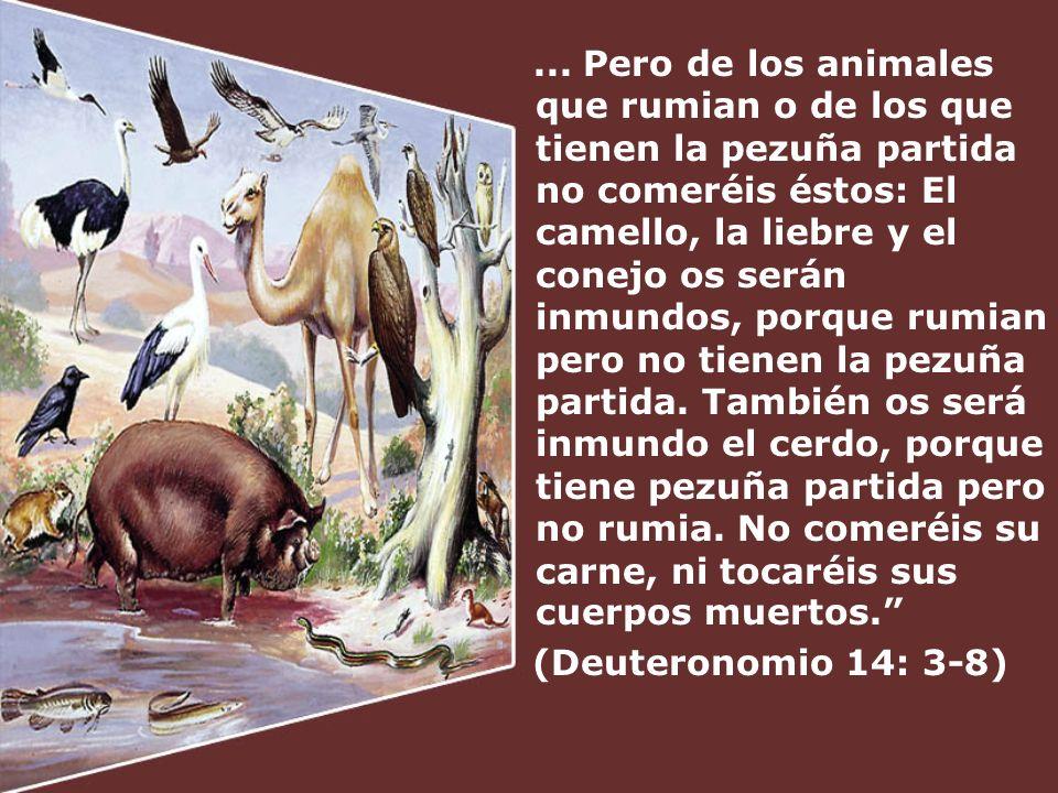 ... Pero de los animales que rumian o de los que tienen la pezuña partida no comeréis éstos: El camello, la liebre y el conejo os serán inmundos, porq