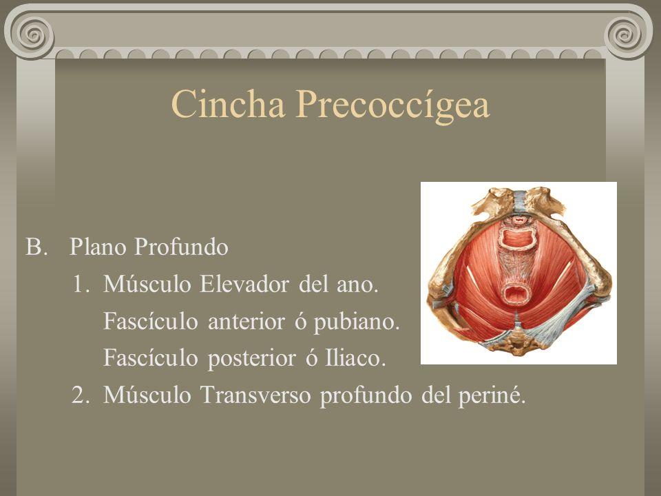 Cincha Precoccígea B.Plano Profundo 1. Músculo Elevador del ano. Fascículo anterior ó pubiano. Fascículo posterior ó Iliaco. 2. Músculo Transverso pro