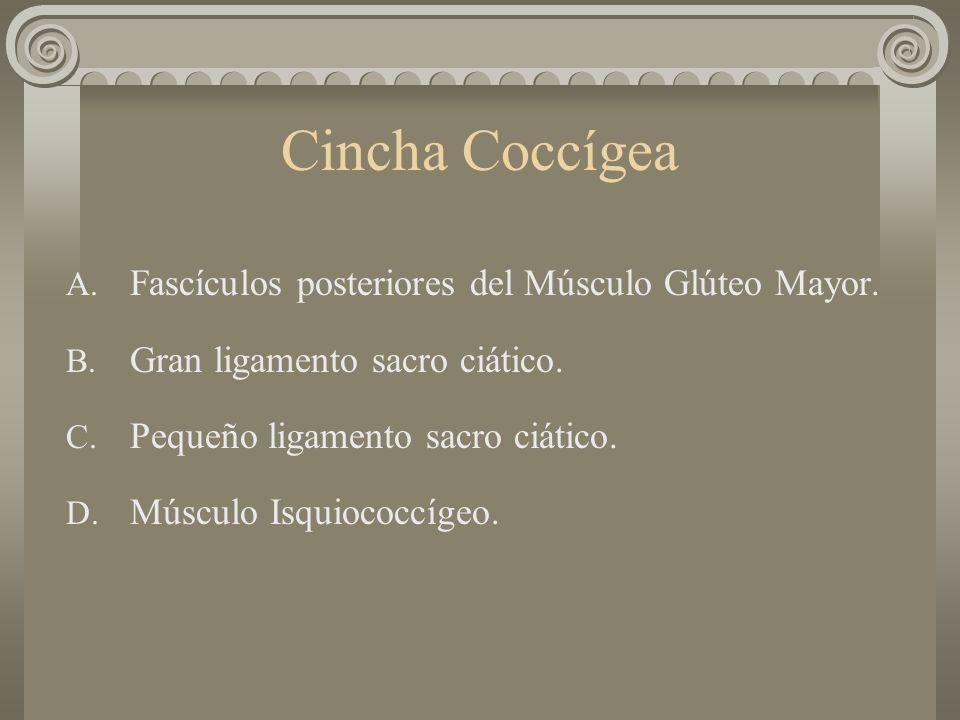 Cincha Coccígea A. Fascículos posteriores del Músculo Glúteo Mayor. B. Gran ligamento sacro ciático. C. Pequeño ligamento sacro ciático. D. Músculo Is