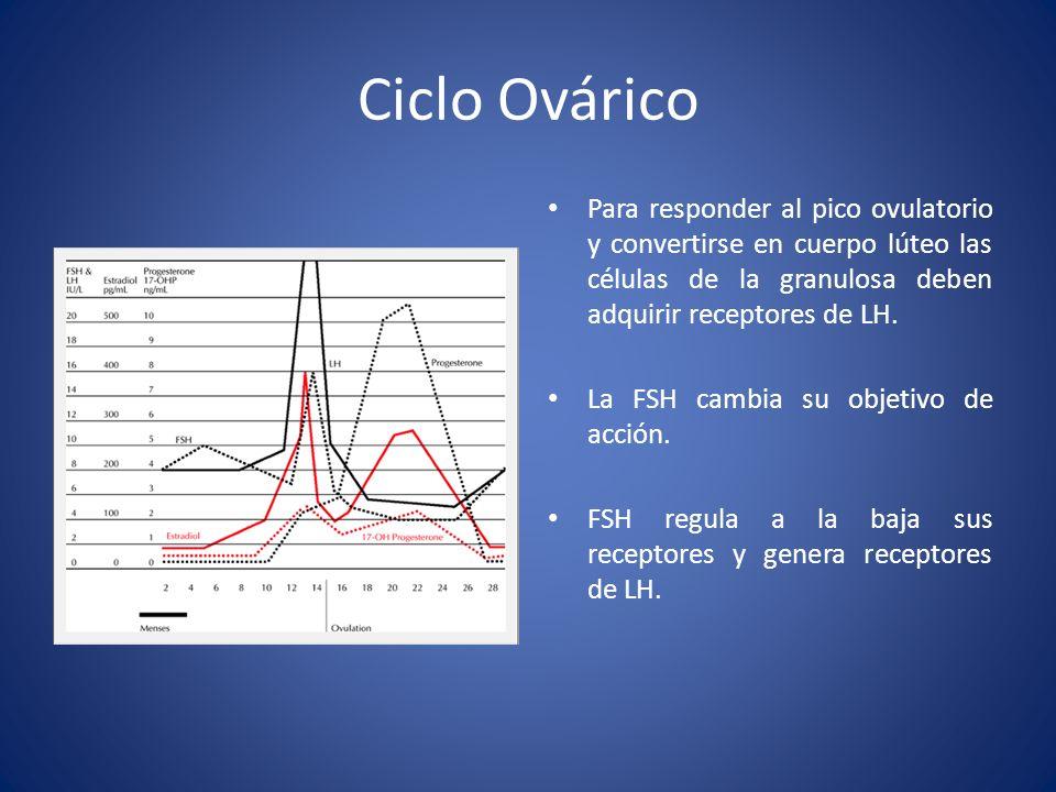 Ciclo Ovárico Para responder al pico ovulatorio y convertirse en cuerpo lúteo las células de la granulosa deben adquirir receptores de LH. La FSH camb