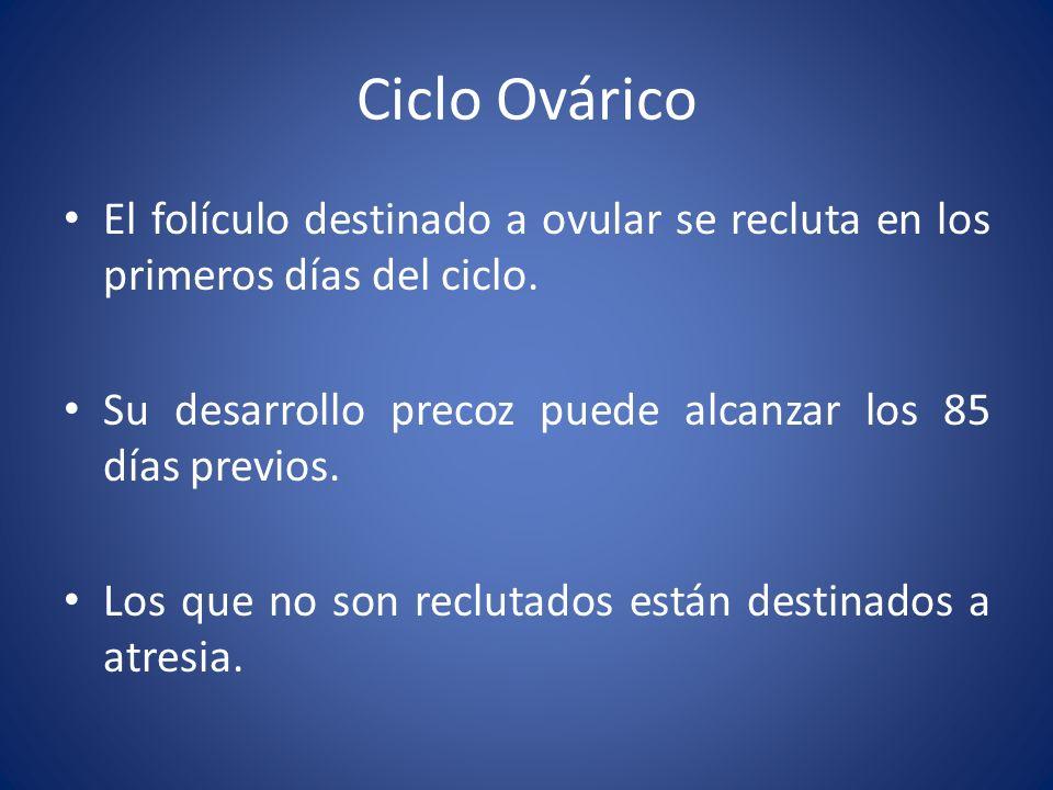 Ciclo Ovárico El folículo destinado a ovular se recluta en los primeros días del ciclo. Su desarrollo precoz puede alcanzar los 85 días previos. Los q