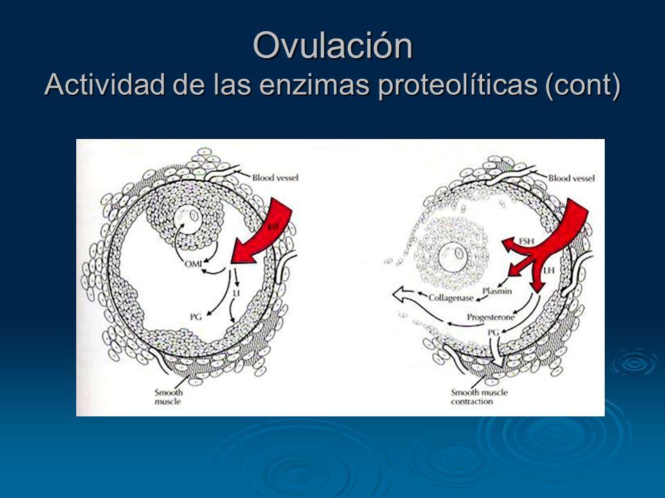Ovulación Actividad de las enzimas proteolíticas (cont)