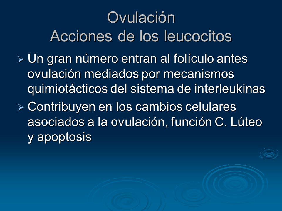 Ovulación Acciones de los leucocitos Un gran número entran al folículo antes ovulación mediados por mecanismos quimiotácticos del sistema de interleuk