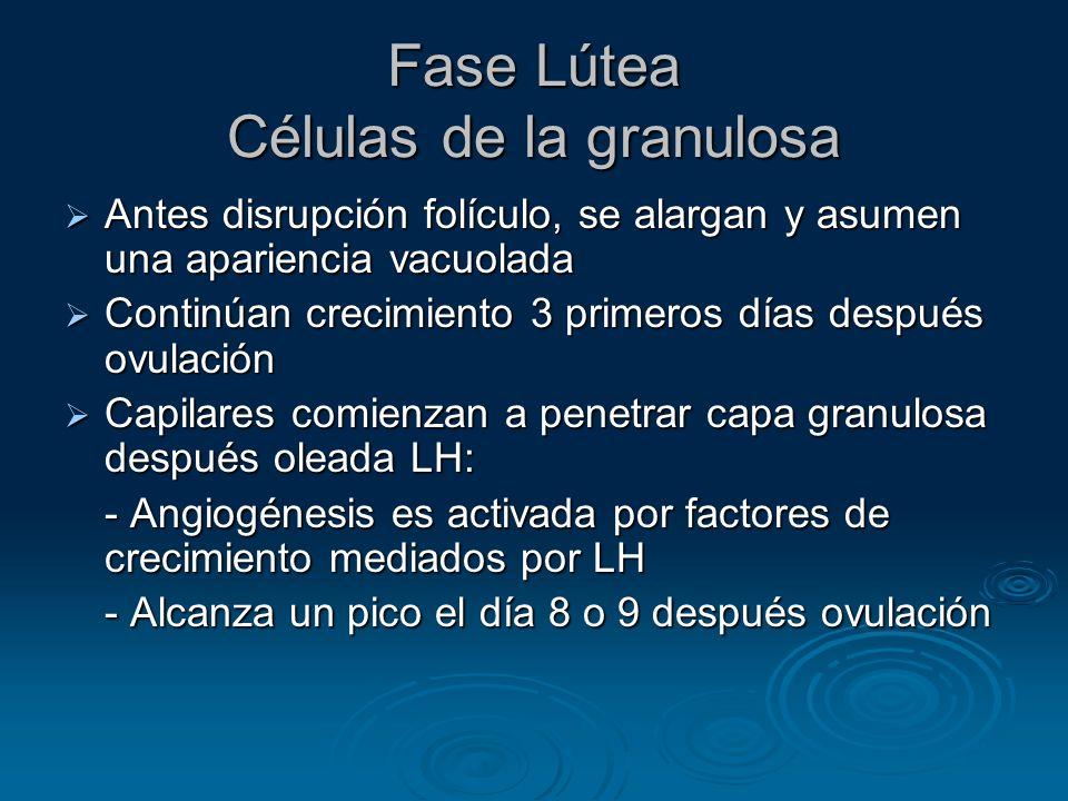 Fase Lútea Células de la granulosa Antes disrupción folículo, se alargan y asumen una apariencia vacuolada Antes disrupción folículo, se alargan y asu
